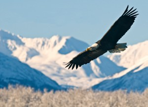 Bald Eagle in flight with mountains in background
